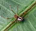 Linyphia triangularis - 2 - Flickr - gailhampshire.jpg