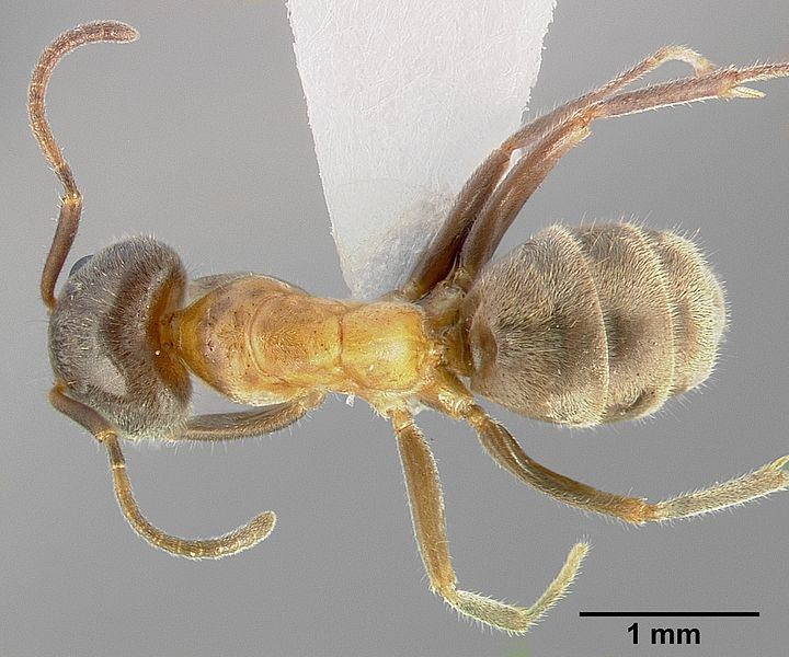 File:Liometopum occidentale casent0005328 dorsal 1.jpg