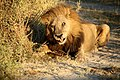 Lion in Botswana (2019).jpg