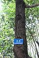 Liquidambar formosana - Chengdu Botanical Garden - Chengdu, China - DSC03609.JPG