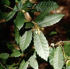 Lithocarpus densiflorus leaves2.jpg
