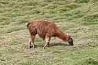 Llama in Ecuador.jpg