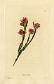 Loddiges 658 Erica rubella drawn by W Miller.jpg