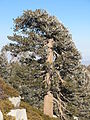 Lodgepole pine, San Jacinto Mountains.jpg
