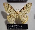 Loepa katinka sakaei - National Museum of Nature and Science, Tokyo - DSC06796.JPG
