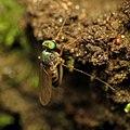 Long-legged Fly (29495750731).jpg