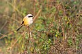 Long Tailed Shrike or rufous-backed shrike (Lanius schach).jpg