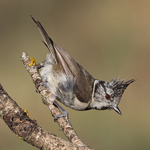 European crested tit - In Spain