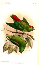 Drawing of two green parrots, one with red crown and central tail, and yellow back