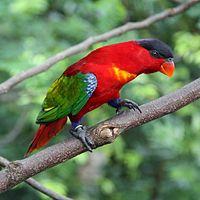 Lorius domicella -Jurong Bird Park, Singapore-8a-2c