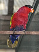 A red parrot with a black forehead, a dark purple belly, a blue underside-of-the-tail, and a yellow tail