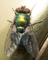 Lucilia sericata on doorknob - detail of fly.jpg