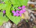 Lunaria annua in Aveyron (1).jpg