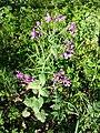 Lunaria annua sl17.jpg