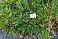 Luzula sylvatica - Botanischer Garten - Heidelberg, Germany - DSC00873.jpg