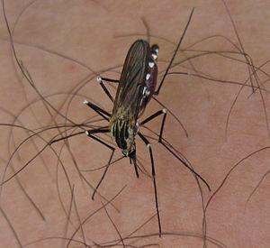 Deutsch: Mücke beim Stechen eines Menschen Son...