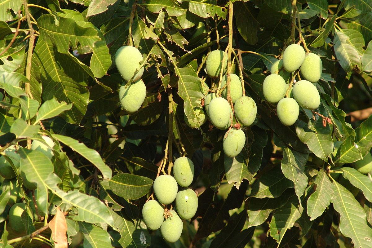 Mango Tree Not Producing Fruit Part - 41: Simple Wikipedia