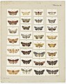 MA I437608 TePapa Plate-IX-The-butterflies full.jpg