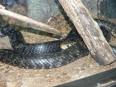 Forest cobra - WikiVisually