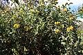 Madeira, Palheiro Gardens - Strauch-Brandkraut (Phlomis fruticosa) IMG 2278.JPG
