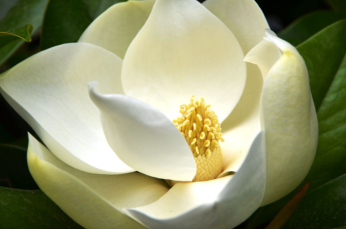 magnolia grandiflora wikipedia. Black Bedroom Furniture Sets. Home Design Ideas