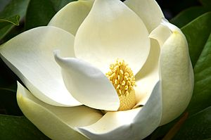 Magnoliaceae - In magnolias, the flower parts are arranged spirally, not in whorls.