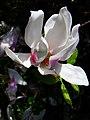 Magnolia (Magnolia) (02).jpg