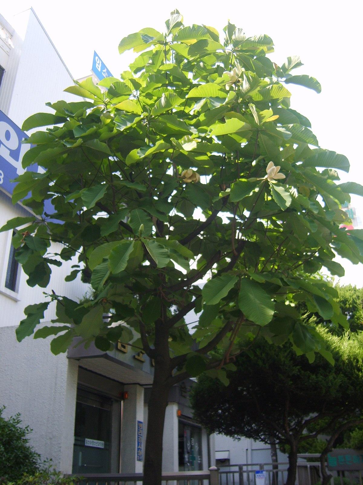 Magnolia Obovata Wikimedia Commons