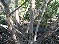 Magnolia stellata Royal Star 2zz.jpg