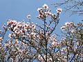 Magnolienblüte CIMG2540.JPG