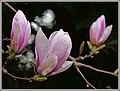 Magnolienzweig (27557618638).jpg