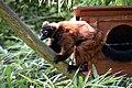 Maki vari roux (Zoo-Amiens).JPG