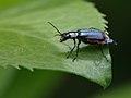 Malachius bipustulatus fem. (Melyridae- Malachiinae) (10209467253).jpg