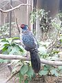 Male Kalij pheasant1.jpg