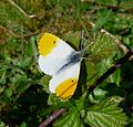 Male Orange Tip. Anthocharis cardamines. - Flickr - gailhampshire (4).jpg