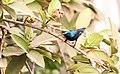 Male Purple Sunbird (Cinnyris asiaticus).jpg