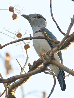 Cuckoo roller - The cuckoo roller exhibits a pronounced sexual dichromatism in the plumage.