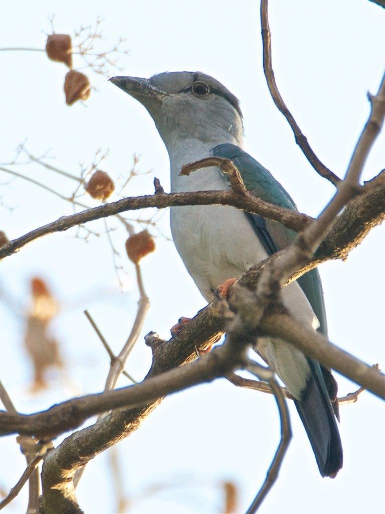 Male cuckoo roller
