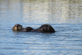 Male sea otter grooming.png