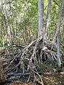 Malpighiales - Rhizophora mangle - 20.jpg