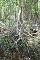 Malpighiales - Rhizophora mangle - 35.jpg