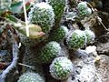 Mammillaria sphacelata (5759438148).jpg
