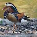 Mandarin Duck (10440821363).jpg