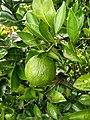 Mandarin orange 4 Bangladesh .jpg