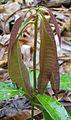 Mangifera tree.jpg