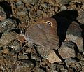 Maniola cypricola (Cyprus Meadow Brown) - Flickr - S. Rae (2).jpg