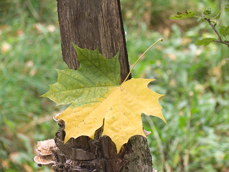 File:Maple leaf autumn.jpg