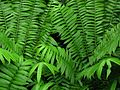 Marattioid Fern - Flickr - treegrow.jpg