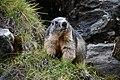 Marmota Marmota on Franz Josef Hoehe - 2019 - 02.jpg
