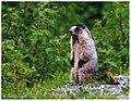 Marmota caligata.jpg